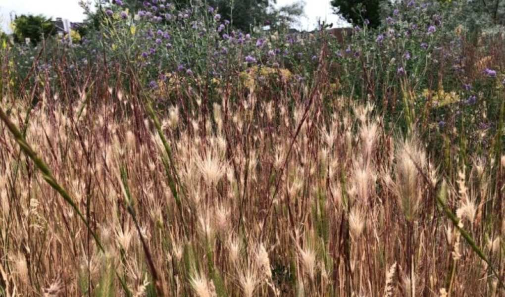 image of foxtails in field