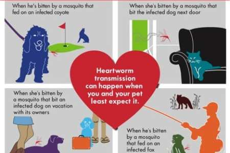 American Heartworm Society heartworm infographic