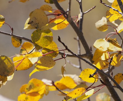 aspen leaves in the fall