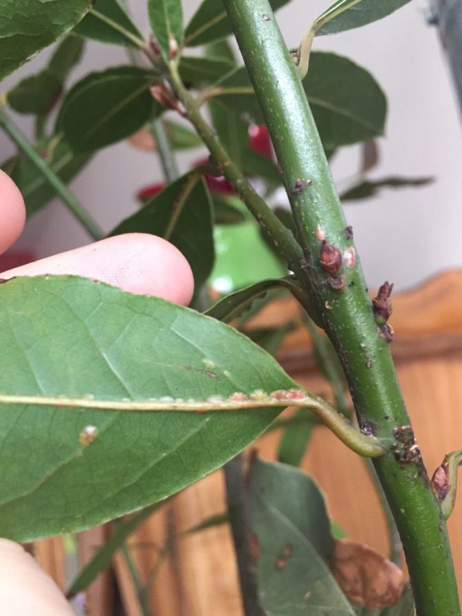 A photo of scale insects on the bottom of a bay laurel leaf.
