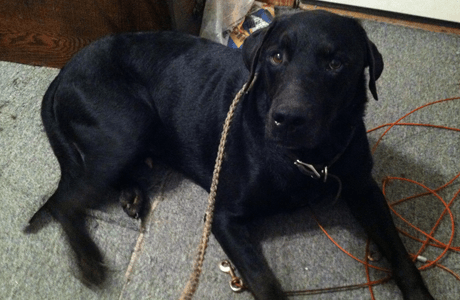 Young black male Labrador retriever extremely well