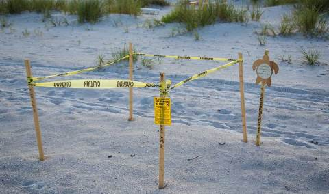 An adopted Sea Turtle nest