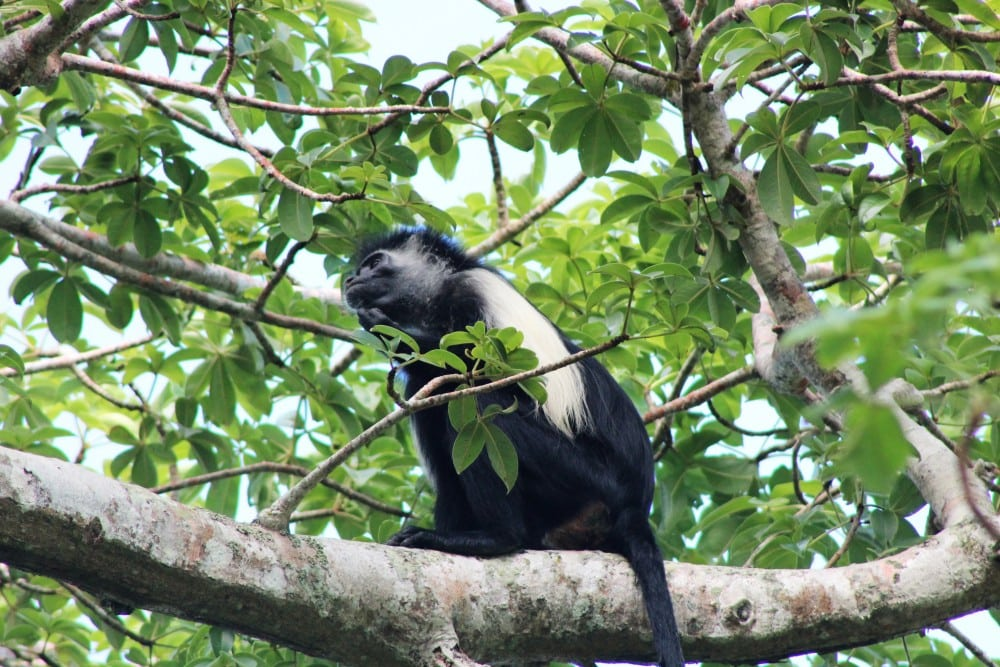 Angolan black and white Colobus Monkey, unique to the Shimoni Cost, Kenya
