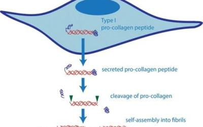 What supports collagen synthesis in our bodies?