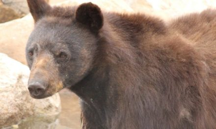 Five Black Bears Now Calling Keepers Of The Wild Their New Home