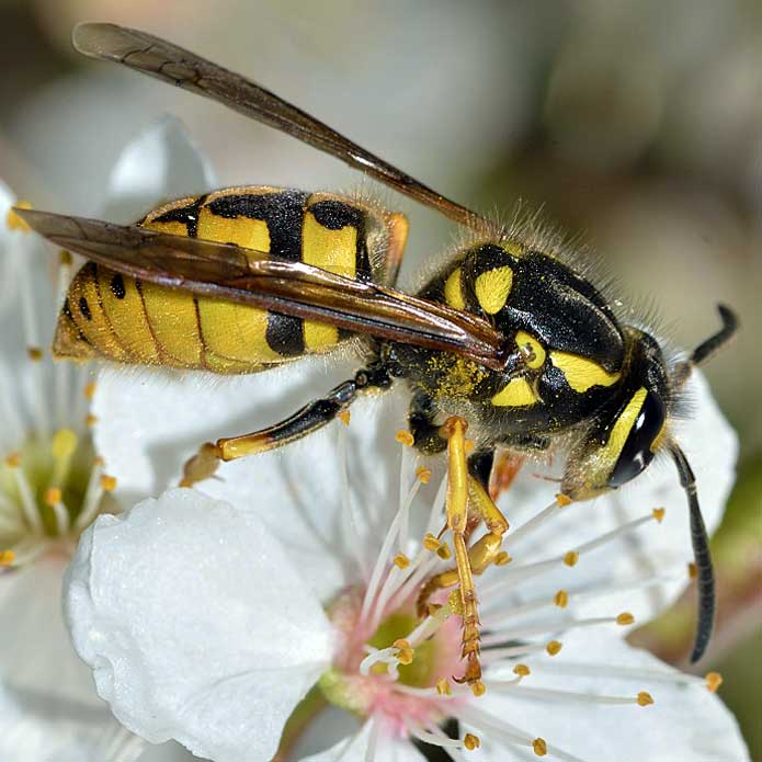 identify types of bees
