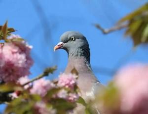 pigeon-1386088_640