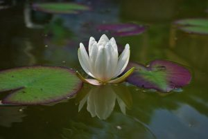 water-lily-1533183_640