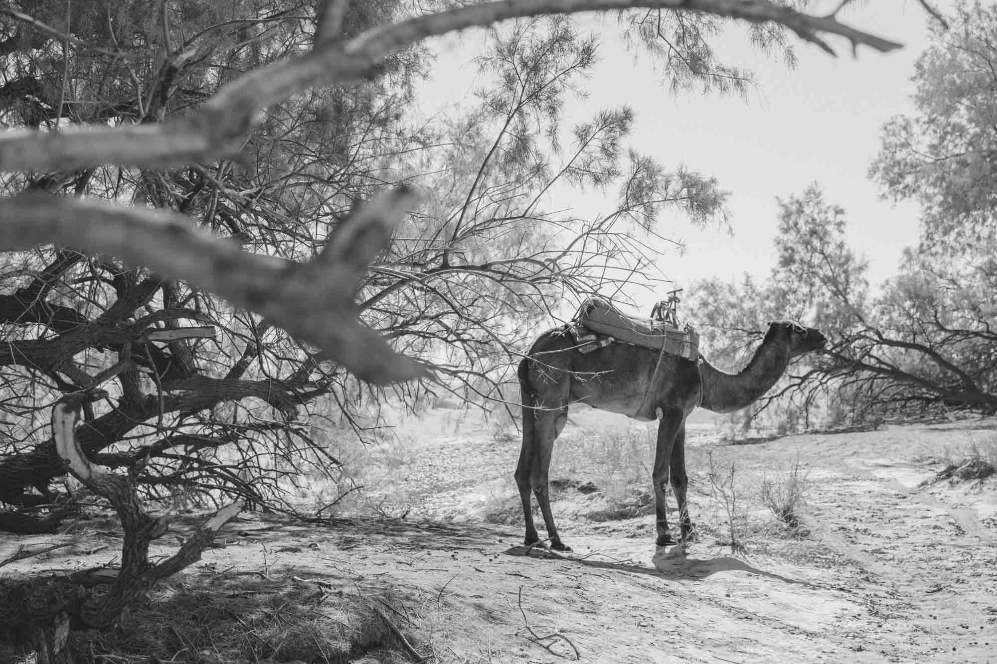 Tour Camel Saddled up taking Shade Under Trees at Luxury-Desert-Camp Morocco