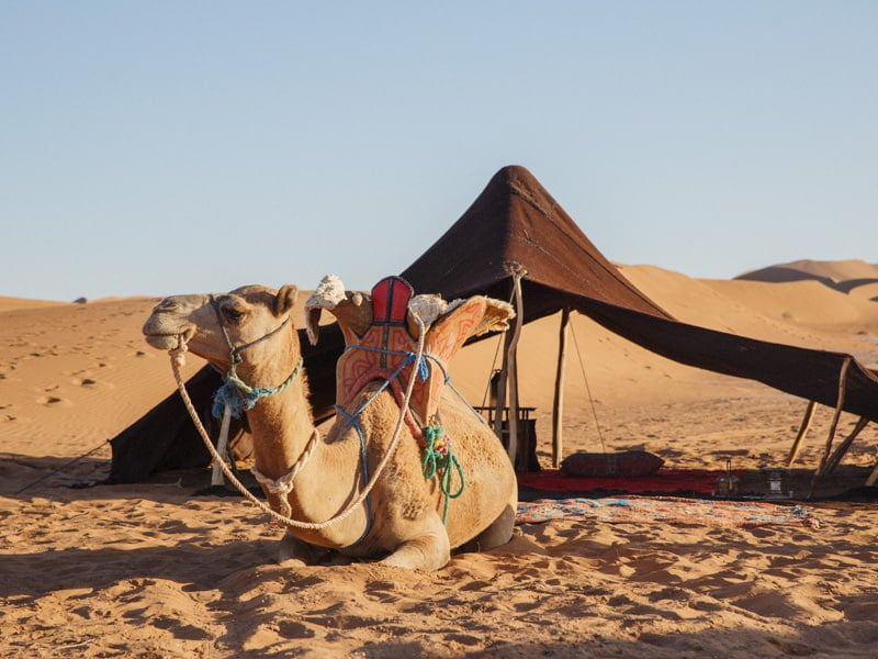 Tour Camel next to Tent at desert nomad camp in Morocco