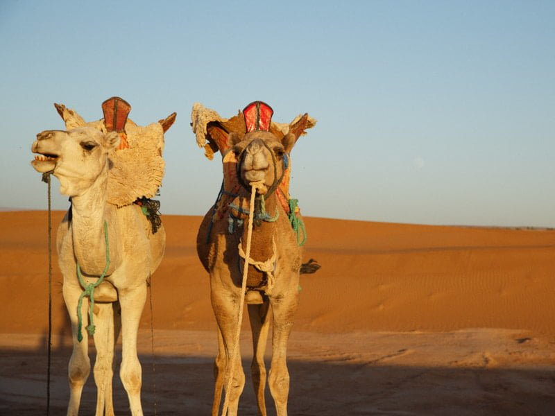 Camels Resting on Camel Trek Tour Through Moroccan Sahara