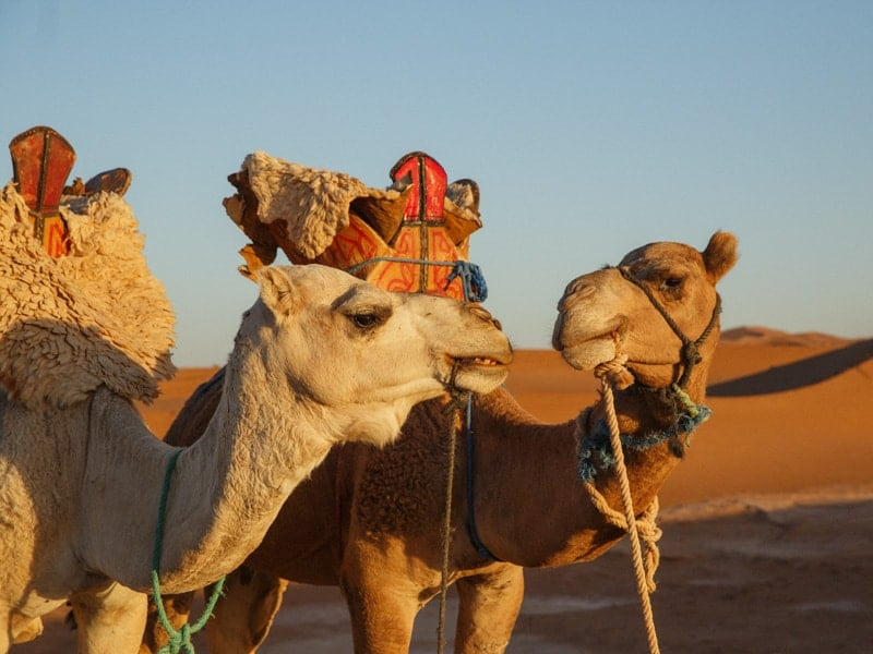 Two Tour Camels With Saddles in Desert
