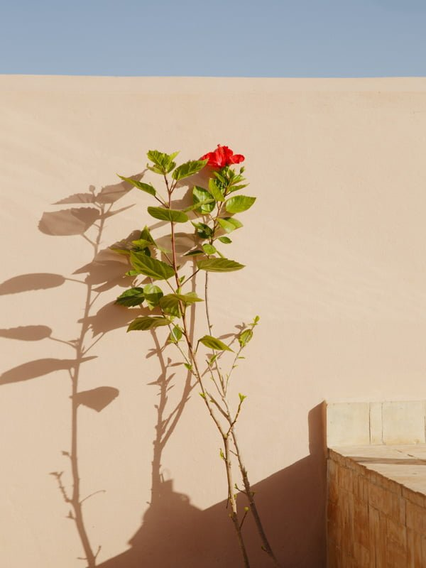 Red Flowering Bougainvillea Plant casting Shadow on Marrakech Hotel Rooftop Terrace