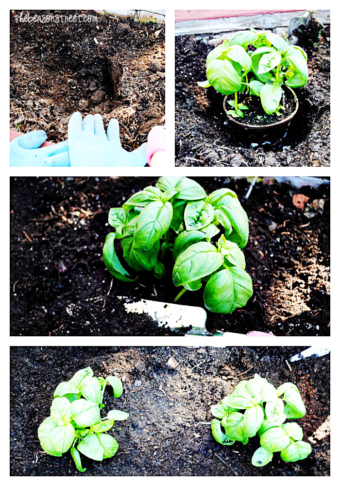 Easy to plant herbs at thebensonstreet.com