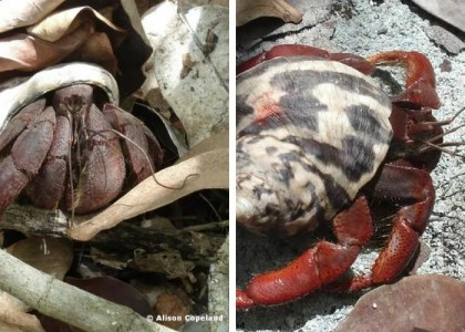 Bermuda Beasts: 8 Facts About Hermit Crabs