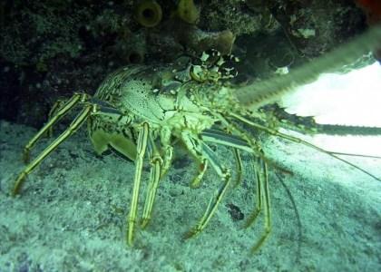 Bermuda Beasts: Spiny Lobster