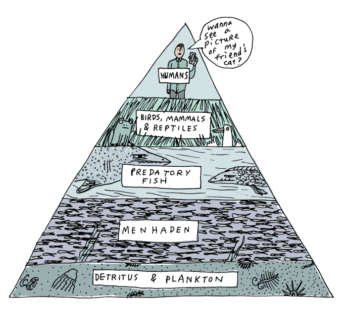 Menhaden on the Food Pyramid