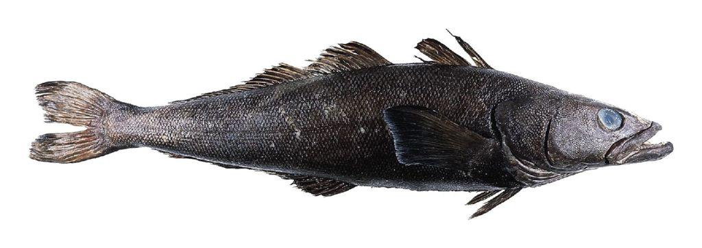 Chilean seabass or Patagonian toothfish