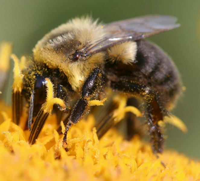 Pesticides could wipe out bumblebee populations