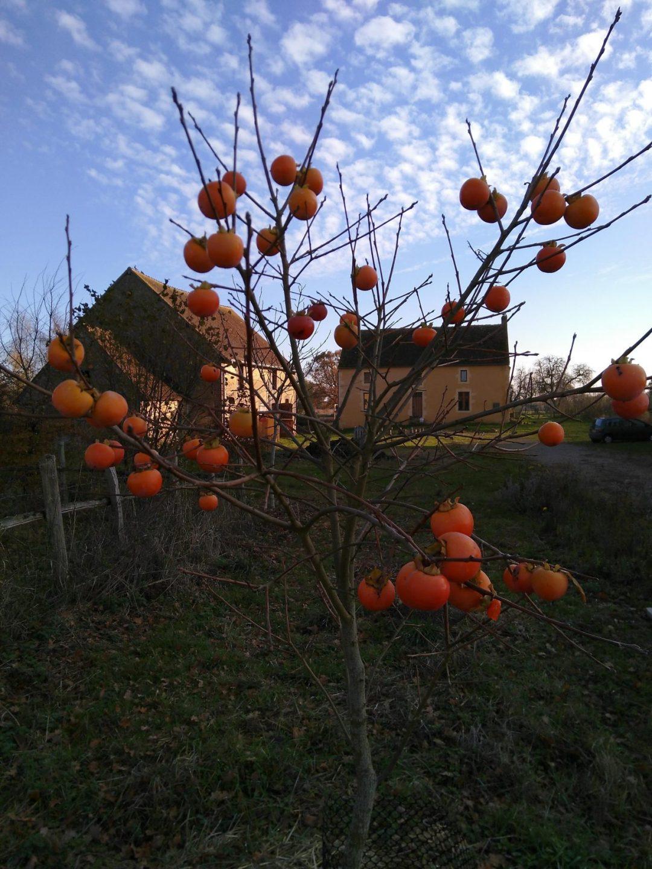 A kaki tree in November at The Big Raise
