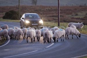 1357758283-sheeps-craving-salt-pose-road-hazard-in-mid-wales_1715538