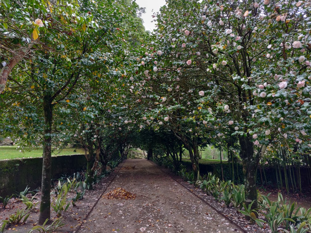 A Camellia lined pathway at the Sensory Garden