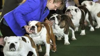 bulldog shows