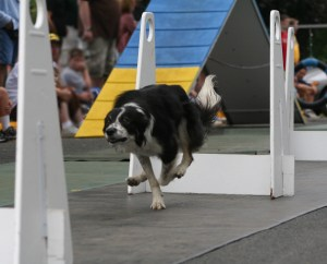 Crufts flyball