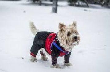 westie dog in a winter coat