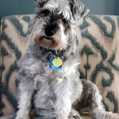 dog miniature schnauzer heidi