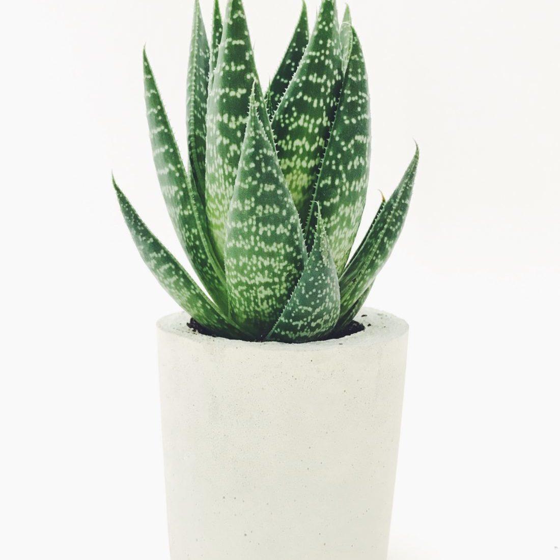 aloe vera plant white planter