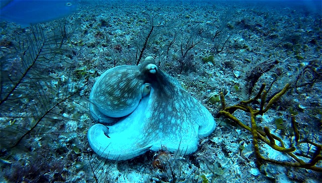 Octopus have a dangerous sex life and Fun Facts. Picture Source: Pixbay