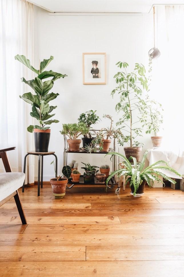 Plantgang: fiddle leaf fig, cacti, succulents, schefflera, birdsnestfern.