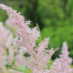 Pale pink flower - The BPc