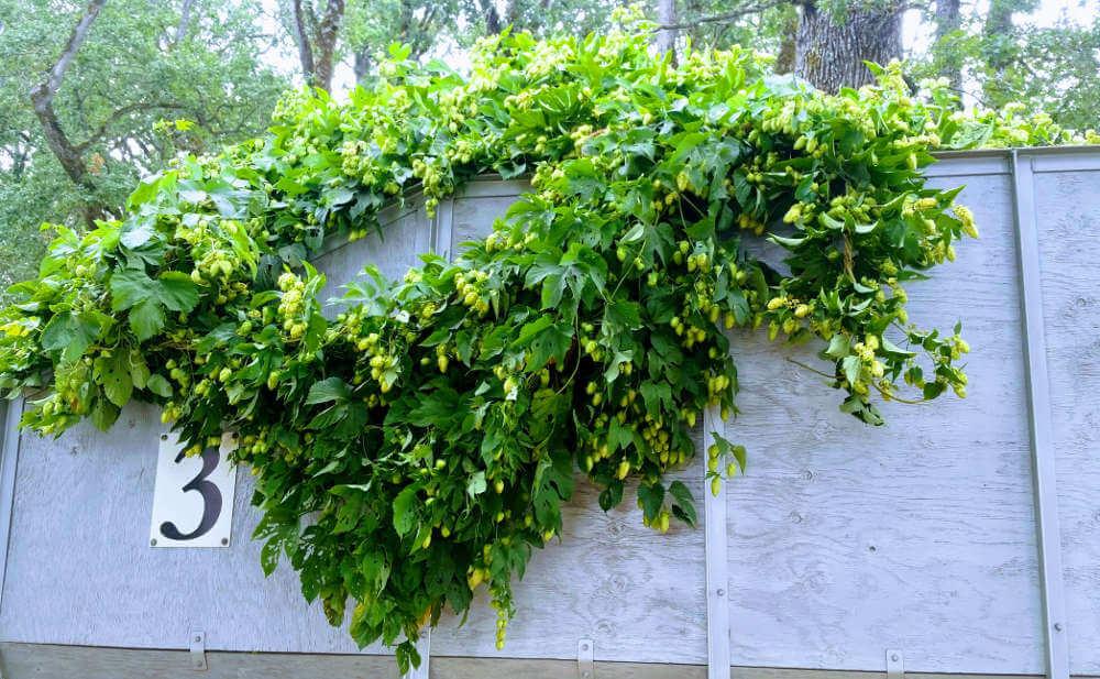 Goschie Farms 2017 hop harvest