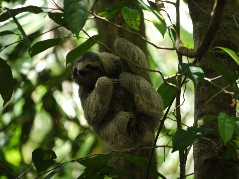 Sloth in rainforest