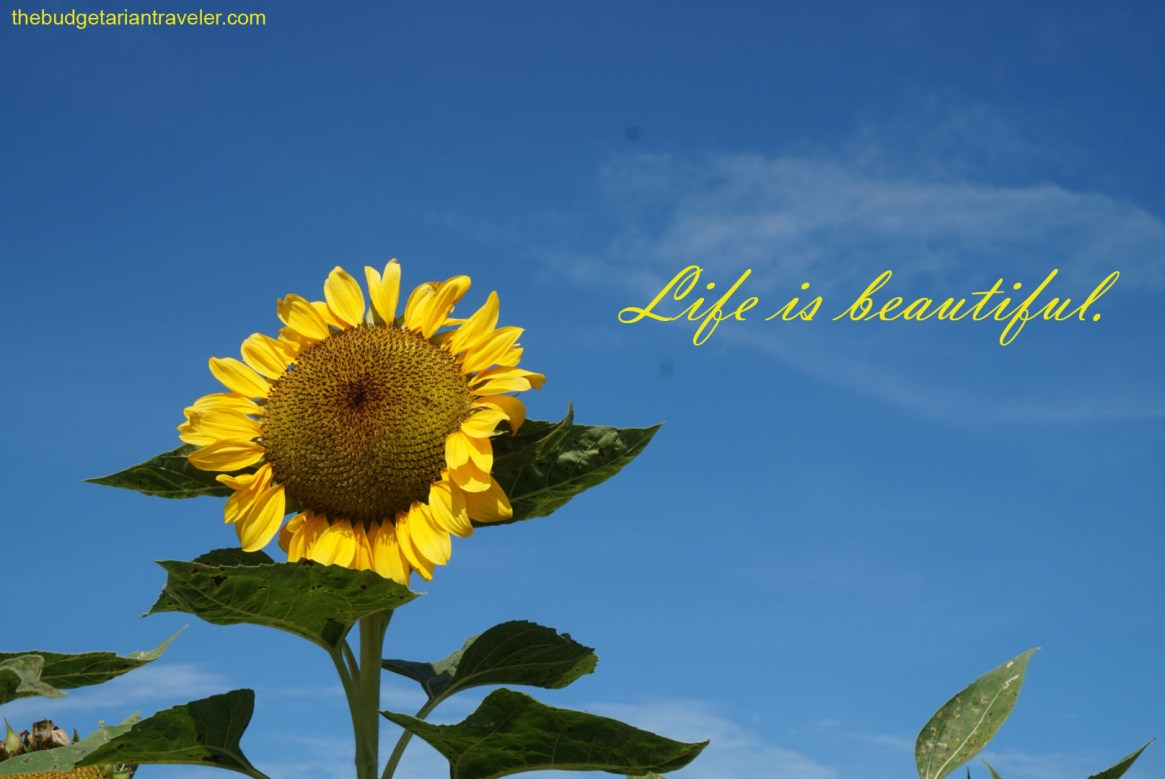 life is beautiful, sunflower