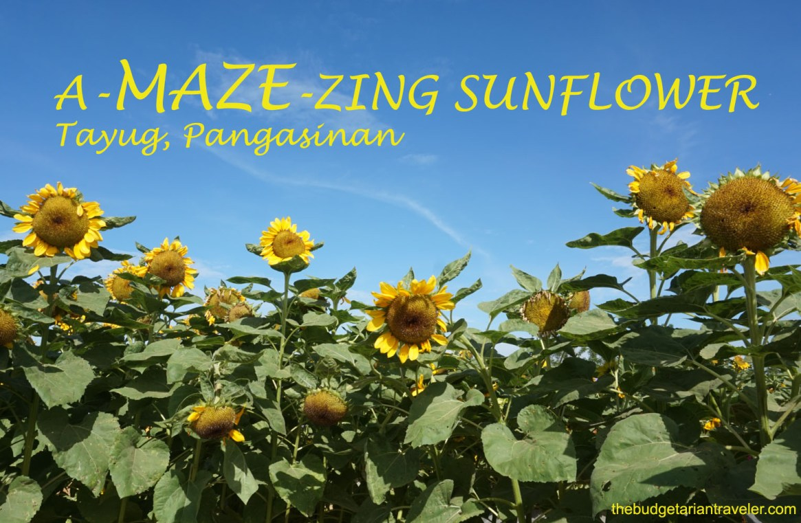 A-MAZE-ZING sunflower