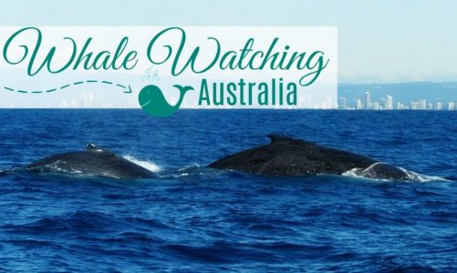 Whale Watching in Australia: Everything You Need to Know