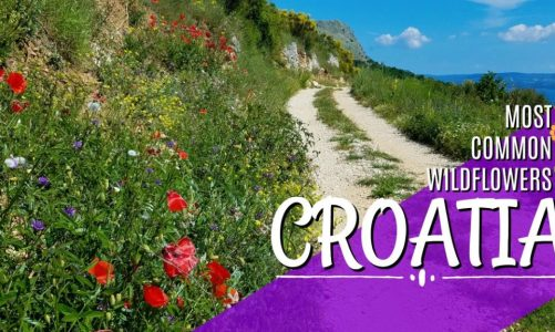 A Hiker's Guide to Croatia Wildflowers | Beautiful, Fierce, and Free