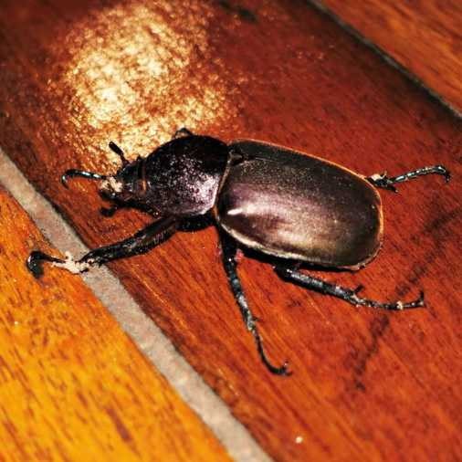 Beetle Borneo Rainforest Lodge Sabah