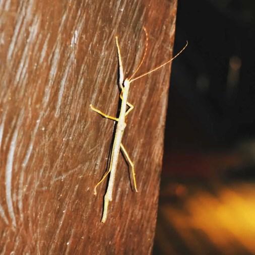 Stick bug Borneo Rainforest Lodge