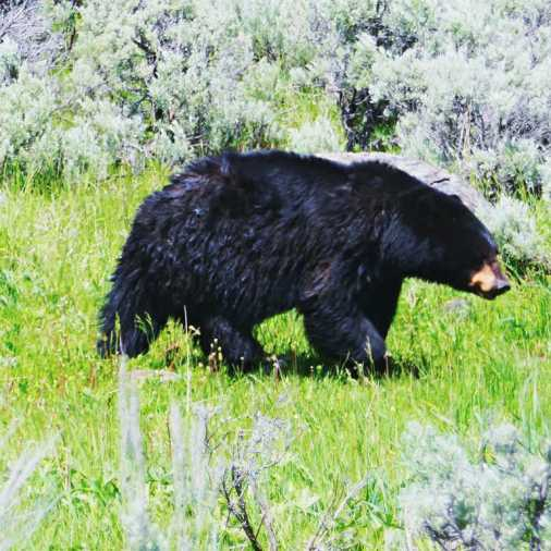 A black bear sighting in Yellowstone.