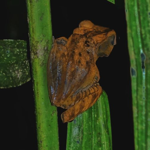 exploring borneo island frog in bushes