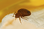 Bed Bug - The Bugo