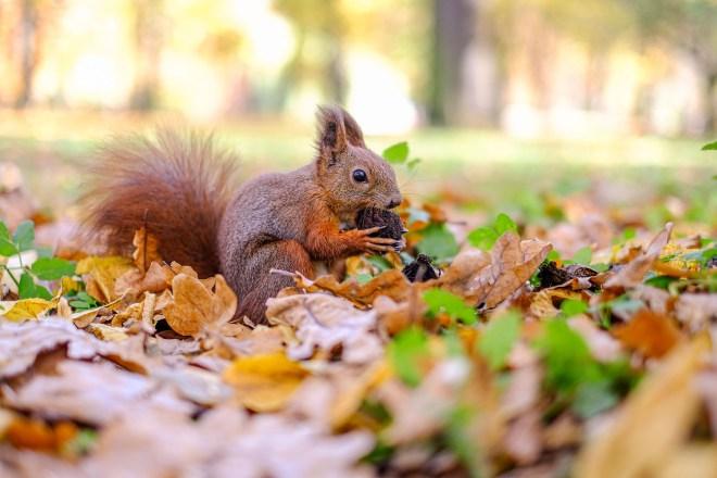 A red squirrel in Łazienki Park