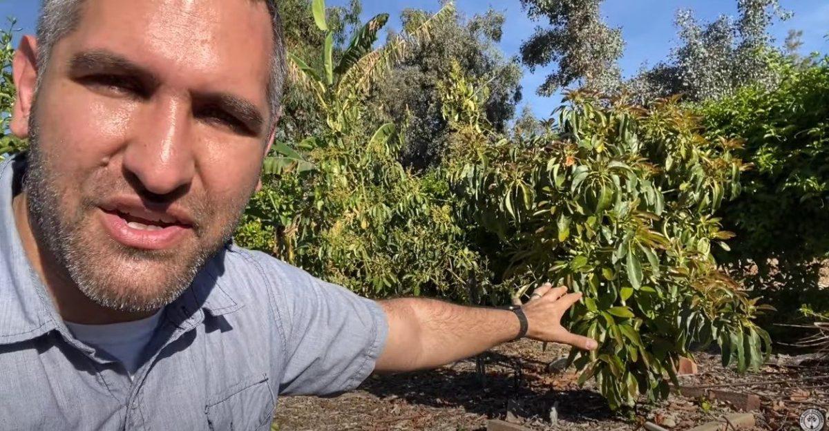 Man Gesturing toward Avocado Trees