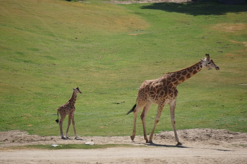 A baby giraffe had recently been born when we visited the Safari Park.