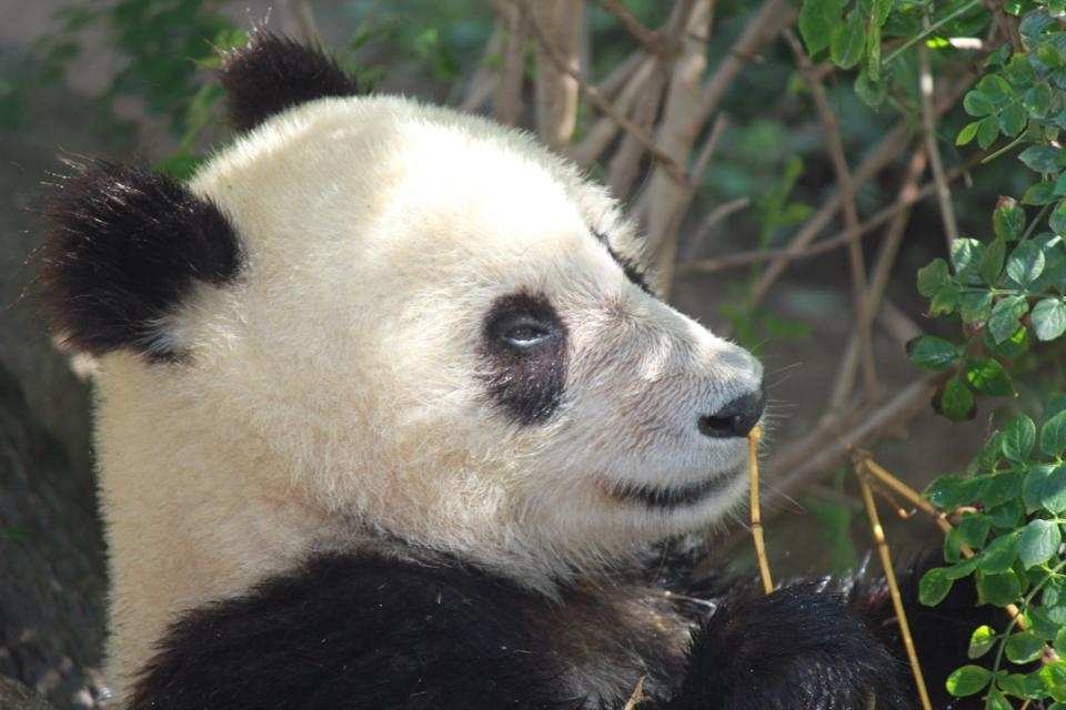 One of the amazing things to do in San Diego with kids is see the panda bears at the San Diego Zoo!