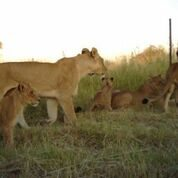 Lions Copyright Lindsey Rich and Panthera